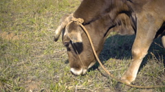 A cow walks across the field on a leash and eat grass. Slow mo, slo mo Stock Footage