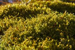 Moss sporophytes - stock photo