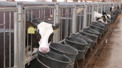 Calves in the cowshed in dairy farm in 4k UHD video. Stock Footage