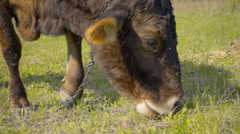 A cow walks across the field, waving his ears from flies and eats grass Stock Footage