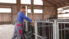 Young farmer feeding calves in the cowshed in dairy farm in 4k UHD video. Stock Footage