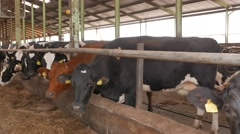Cows in the cowshed in dairy farm in 4k UHD video. Stock Footage
