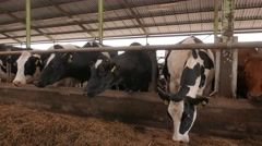 Cows in the cowshed in dairy farm in 4k UHD video. - stock footage