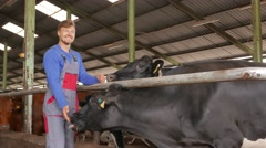 Young farmer checking cows in the cowshed in dairy farm in 4k UHD video. Stock Footage