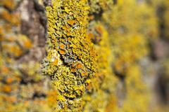 Macro shot of the common orange lichen (Xanthoria parietina) with strong focu Stock Photos
