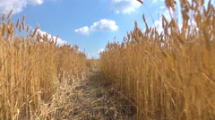 Walking through the field of wheat Stock Footage