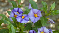 Lycianthes sp. family Solanaceae a shrub from dry areas in the Ecuadorian Andes Stock Footage