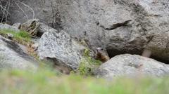 Cute alpin Marmot sitting under a stone, europe, swiss - stock footage