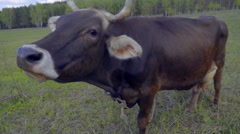 A cow grazes on a leash on a meadow and  waving his ears and tail from flies Stock Footage