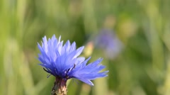 Bee pollinating a flower cornflowers. Cornflower - Centaurea Stock Footage