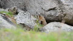 Cute alpin Marmot sitting under a stone, europe, swiss Stock Footage