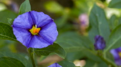 Lycianthes sp. (family Solanaceae) a shrub from dry areas in the Ecuadorian Ande Stock Footage
