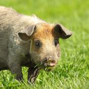 cute dirty pig portrait, image of grazing animal near the bio farm - stock photo