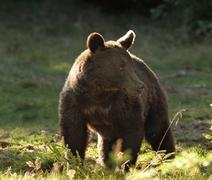 Ursus arctos - european wild brown bear photographed in a clearing, Harghita  Stock Photos