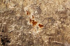 Serpula lacrymans - dry rot on old wall - stock photo