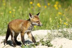 Cute young red fox on sand dunes ( Vulpes vulpes ) Kuvituskuvat