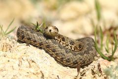 Vipera ursinii rakosiensis - male emerged from hibernation, specie on the red - stock photo