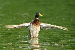 male mallard duck spreading wings ( Anas platyrhynchos ) - stock photo