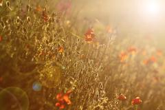 wild poppies field at sunset with lens flare effect ( Papaver rhoeas ) - stock photo