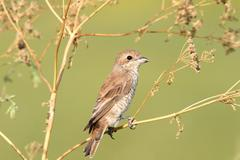 Lanius collurio-red-backed shrike, female Stock Photos
