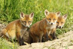 european red fox family, cute cubs near the den ( Vulpes vulpes ) - stock photo