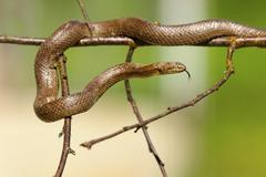 Smooth snake climbing on twigs, green out of focus background ( Coronella aus Stock Photos