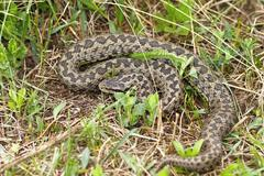 the rarest snake in Europe, meadow adder photographed in natural habitat in T - stock photo