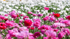 Pink ranunculus flower blooms Stock Footage