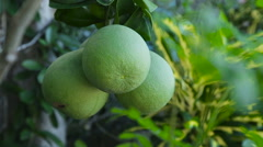 Pomelo fruit on the tree Stock Footage