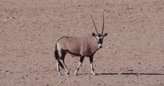 4K Gemsbok/Oryx walking across the arid plains of the Namib desert Stock Footage