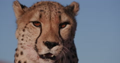 4K Close-up portrait of Cheetah Stock Footage