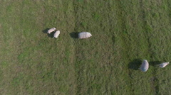 Aerial from few to many sheep in grass Stock Footage