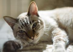Thai cat with blue eyes lying on couch light color - stock photo