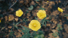 Yellow flowers of night blindness in the forest on a background of brown leaves  Stock Footage
