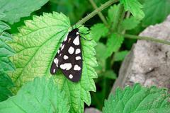 Black and white Nine-Spotted Moth resting on fresh green nettles. - stock photo