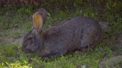 Gray pet rabbit sitting in the shade and eat grass. Slow mo, slo mo Stock Footage