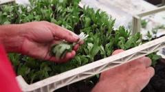 Worker preparing flower seedlings in trays for greenhouse Stock Footage