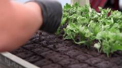worker preparing flower seedlings in trays for greenhouse - stock footage