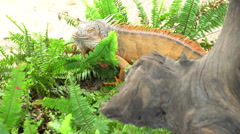 4k, Yellow iguana in farm Stock Footage