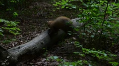 European pine marten running over fallen tree trunk in forest Stock Footage