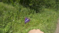 Beautiful big butterfly takes off from his hands. Apatura iris. Stock Footage