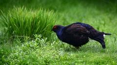 Black grouse (Lyrurus tetrix) male foraging in grassland in spring. Stock Footage