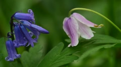 Bluebells and wood anemone flowering in spring forest Stock Footage