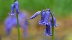 Bluebells (Endymion nonscriptus) flowering in spring Stock Footage