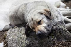 Homeless dog sleeps on stone - stock photo