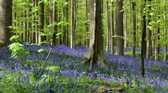 Beech forest with bluebells (Endymion nonscriptus) flowering in spring Stock Footage