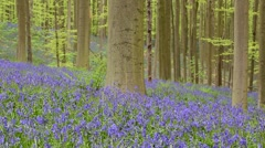 Walkers in beech forest with bluebells in flower in spring Stock Footage