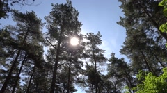The sun is shining through the crown of pines in Riga, Latvia, Mezaparks Stock Footage