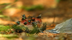 Common greenbotle flies feeding on carrion of  dead and decaying bird in forest. Stock Footage