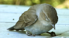 Small bird - Lesser whitethroat - regaining consciousness after hitting a window - stock footage